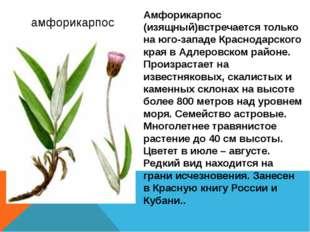амфорикарпос Амфорикарпос (изящный)встречается только на юго-западе Краснода