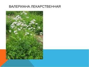 Многолетнее травянистое растение. Корневища и корни обладают сильным запахом