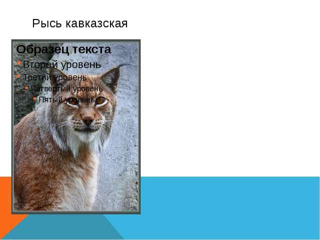 Рысь кавказская – животное средних размеров и коротким туловищем и высокими н...