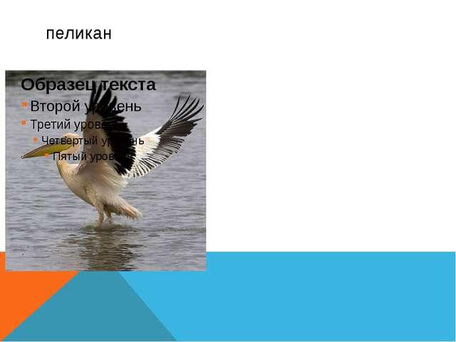 Пеликаны— обитатели морских мелководий, неглубоких пресных и солёных озёр, у...