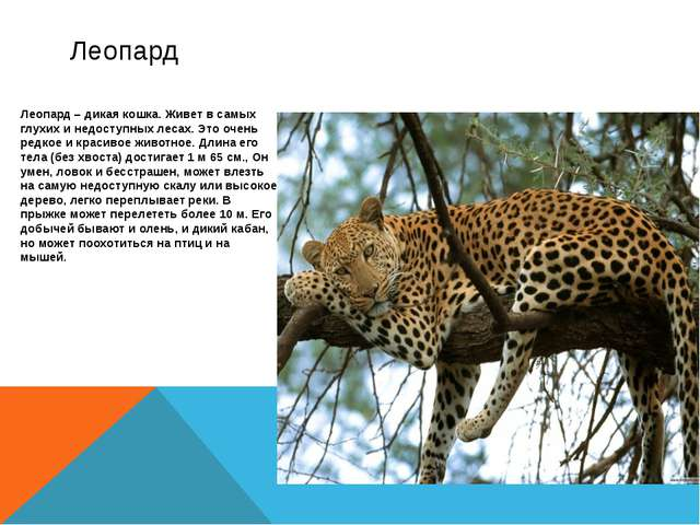 Леопард – дикая кошка. Живет в самых глухих и недоступных лесах. Это очень ре...