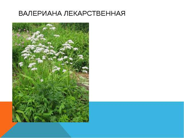 Многолетнее травянистое растение. Корневища и корни обладают сильным запахом...