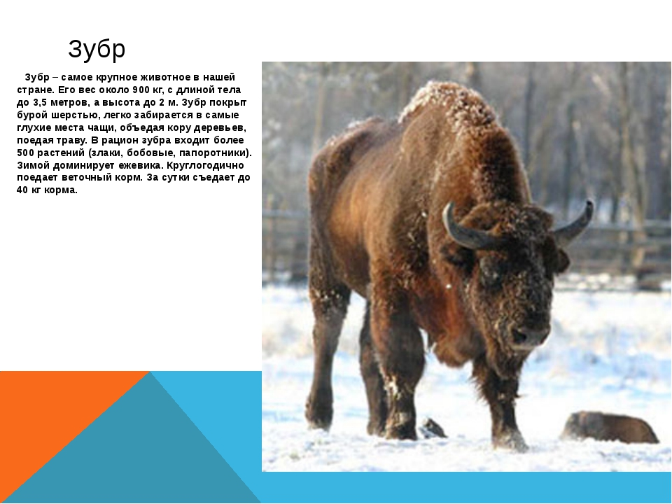 Зубр – самое крупное животное в нашей стране. Его вес около 900 кг, с длиной...