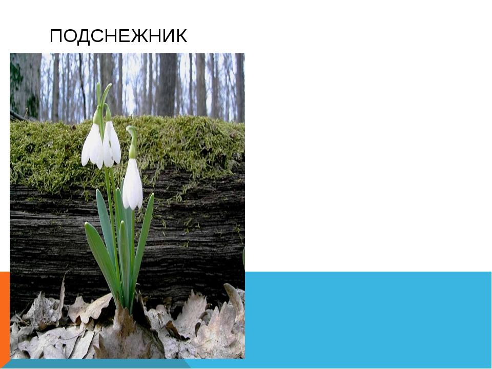 Многолетнее растение до 30см высоты Листья узкие, цветки белые. Цветет в фев...