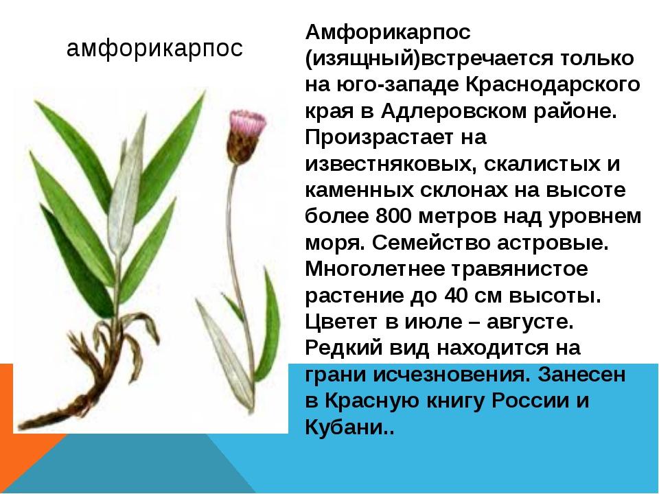 амфорикарпос Амфорикарпос (изящный)встречается только на юго-западе Краснода...