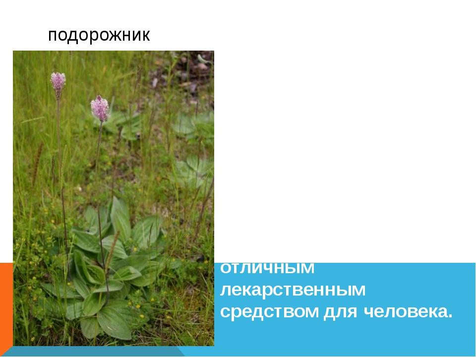 Подорожник относится к роду однолетних и многолетних трав; редко, но встреча...