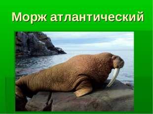 Морж атлантический