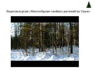 Видеоэкскурсия «Многообразие хвойных растений на Урале»