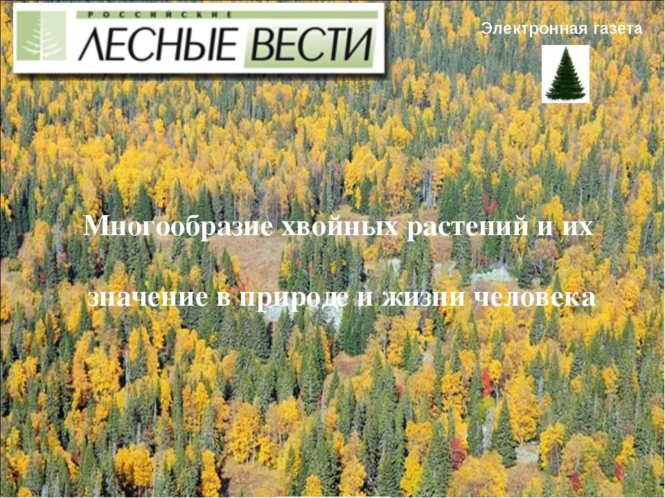 Электронная газета Многообразие хвойных растений и их значение в природе и жи...