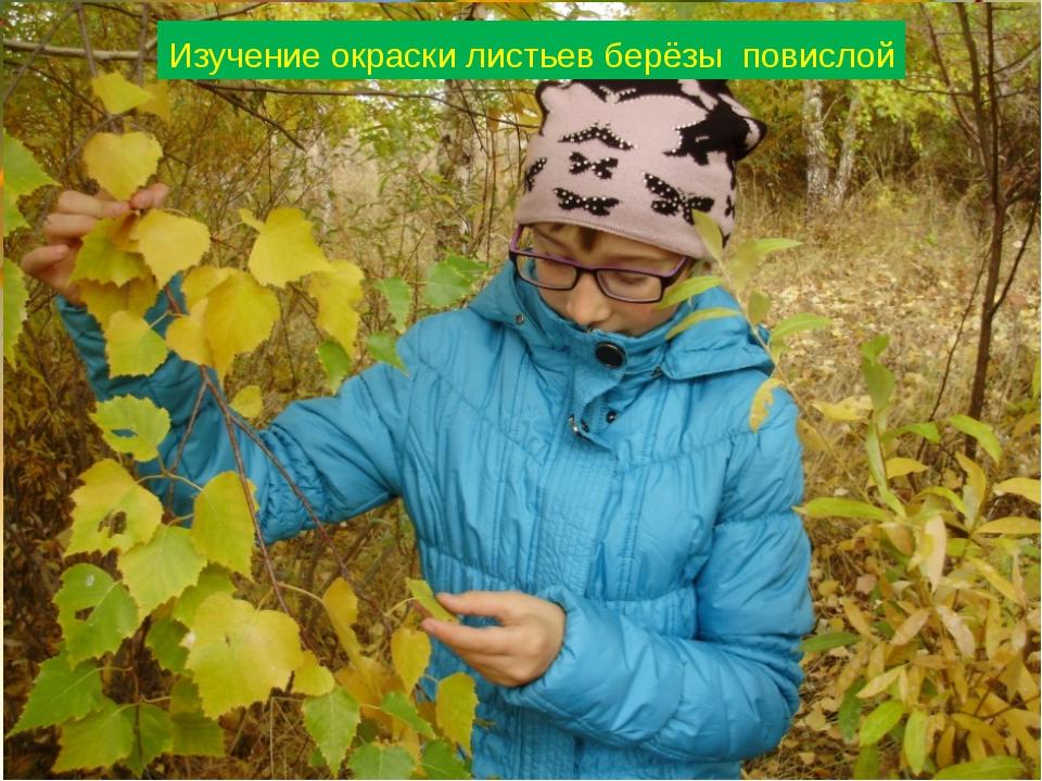Изучение окраски листьев берёзы повислой
