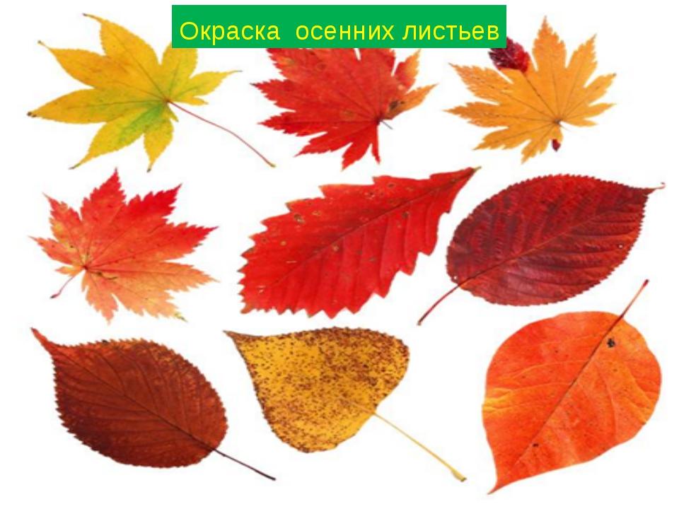 Окраска осенних листьев