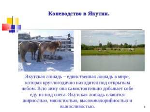 * Коневодство в Якутии. Якутская лошадь – единственная лошадь в мире, которая