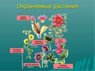 Охраняемые растения Кандык сибирский Пион степной Ветреница байкальская Солнц