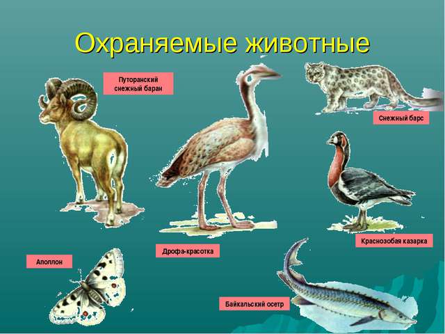 Охраняемые животные Путоранский снежный баран Аполлон Дрофа-красотка Снежный...