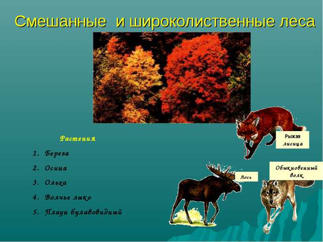 Смешанные и широколиственные леса Рыжая лисица Лось Обыкновенный волк Растени...