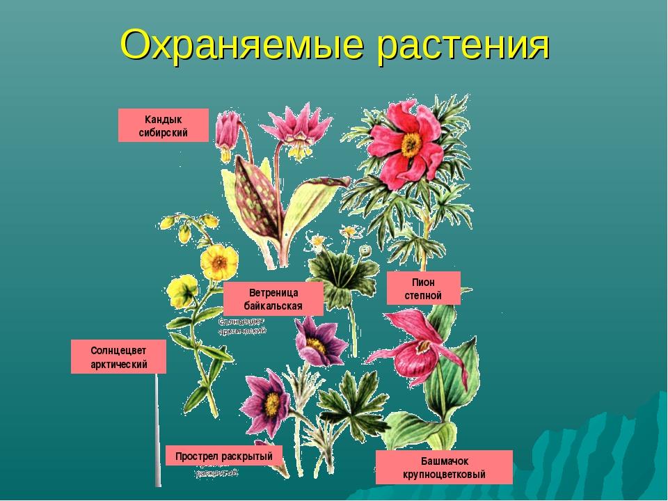Охраняемые растения Кандык сибирский Пион степной Ветреница байкальская Солнц...