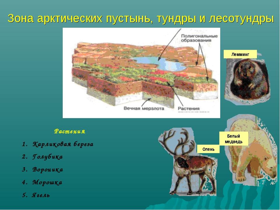 Зона арктических пустынь, тундры и лесотундры Олень Белый медведь Растения Ка...
