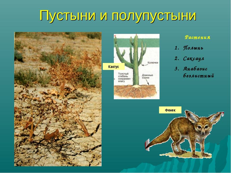 Пустыни и полупустыни Растения Полынь Саксаул Анабазис безлистный Кактус Фенек
