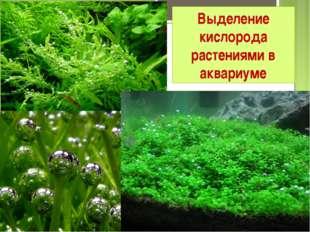 Выделение кислорода растениями в аквариуме