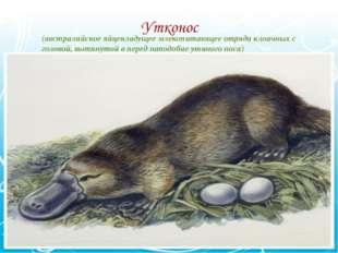 (австралийское яйцекладущее млекопитающее отряда клоачных с головой, вытянуто