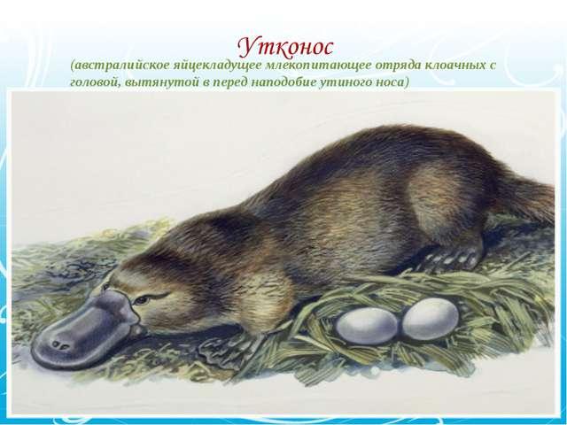 (австралийское яйцекладущее млекопитающее отряда клоачных с головой, вытянуто...