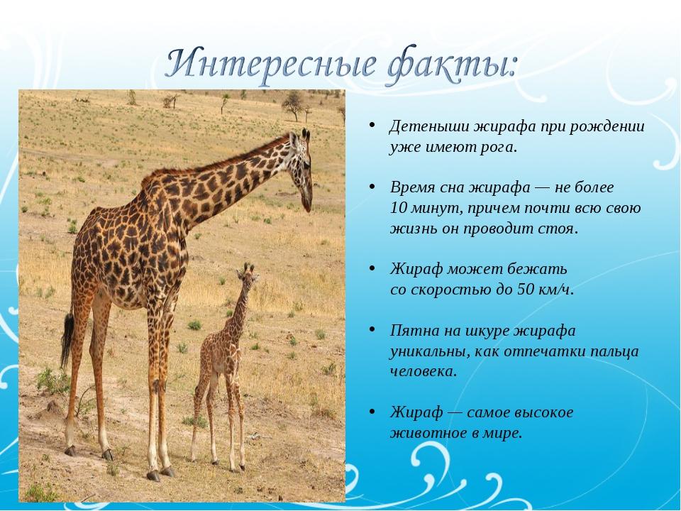 Детеныши жирафа при рождении уже имеют рога. Время сна жирафа— неболее 10м...