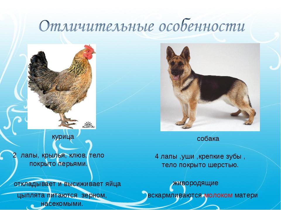 курица собака 2 лапы, крылья, клюв, тело покрыто перьями. 4 лапы ,уши ,крепки...