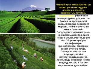 Чайный куст неприхотлив, он может расти на скудных почвах и склонах с каменис