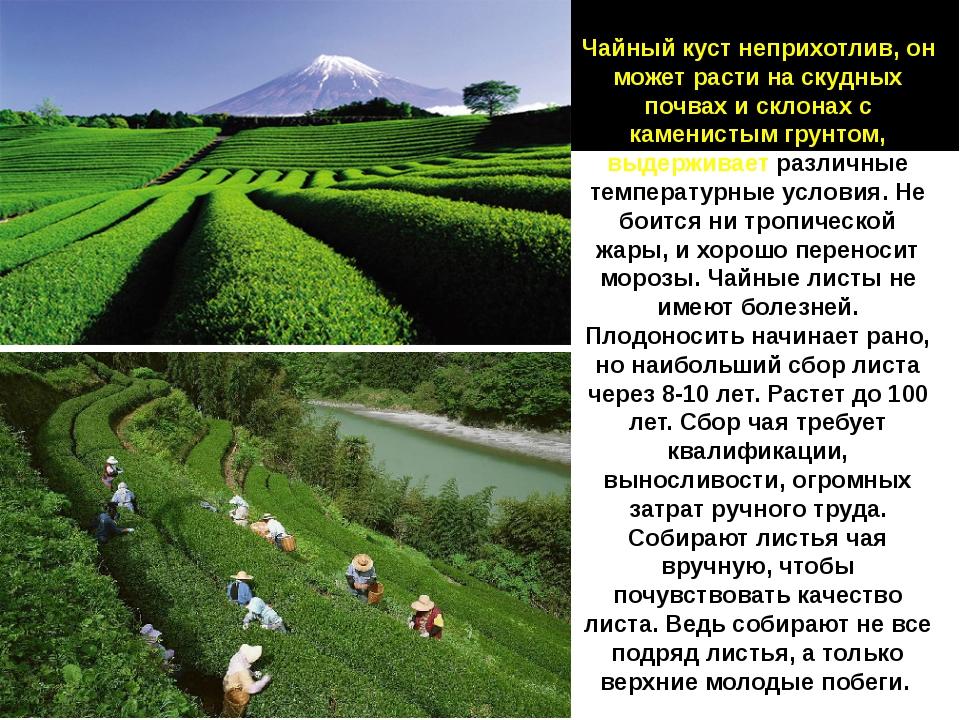 Чайный куст неприхотлив, он может расти на скудных почвах и склонах с каменис...
