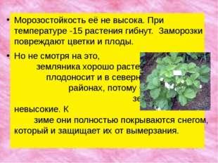 Морозостойкость её не высока. При температуре -15 растения гибнут. Заморозки