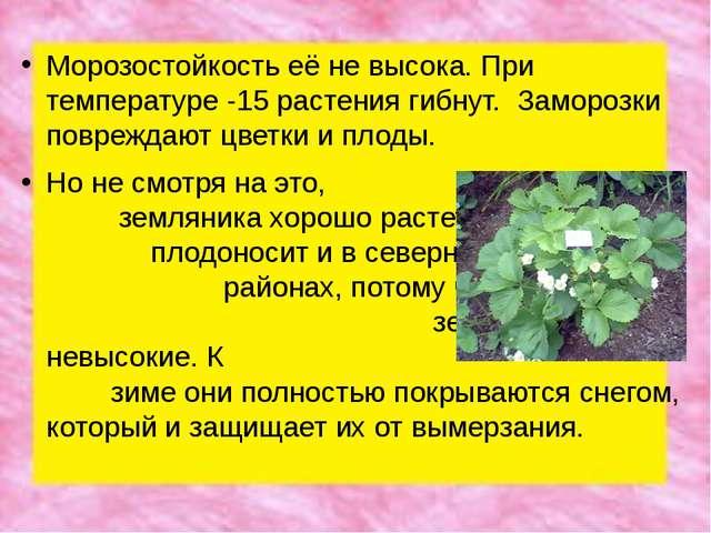 Морозостойкость её не высока. При температуре -15 растения гибнут. Заморозки...