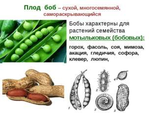 Плод боб – сухой, многосемянной, самораскрывающийся Бобы характерны для расте
