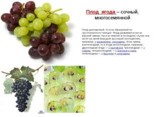 Плод ягода – сочный, многосемянной Плод ценокарпный, то есть образуемый из ср