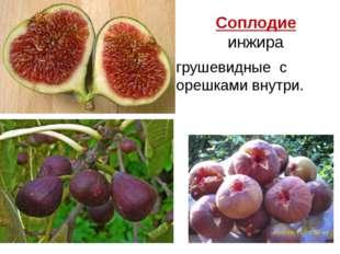 Соплодие инжира грушевидные с орешками внутри.