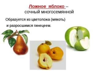 Ложное яблоко – сочный многосемянной Образуется из цветоложа (мякоть) и разро