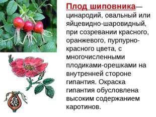 Плодшиповника— цинародий, овальный или яйцевидно-шаровидный, при созревании