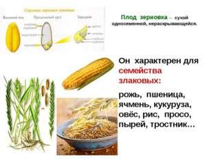 Плод зерновка – сухой односемянной, нераскрывающейся. Он характерен для семей