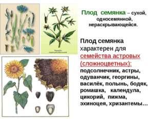 Плод семянка – сухой, односемянной, нераскрывающейся. Плод семянка характерен
