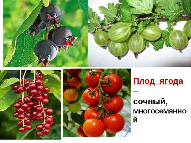 Плод ягода – сочный, многосемянной