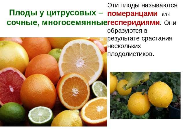 Плоды у цитрусовых – сочные, многосемянные Эти плоды называются померанцами и...