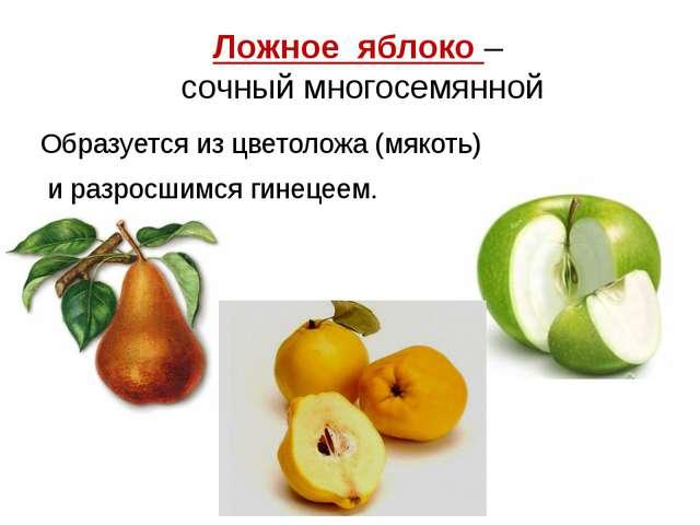 Ложное яблоко – сочный многосемянной Образуется из цветоложа (мякоть) и разро...