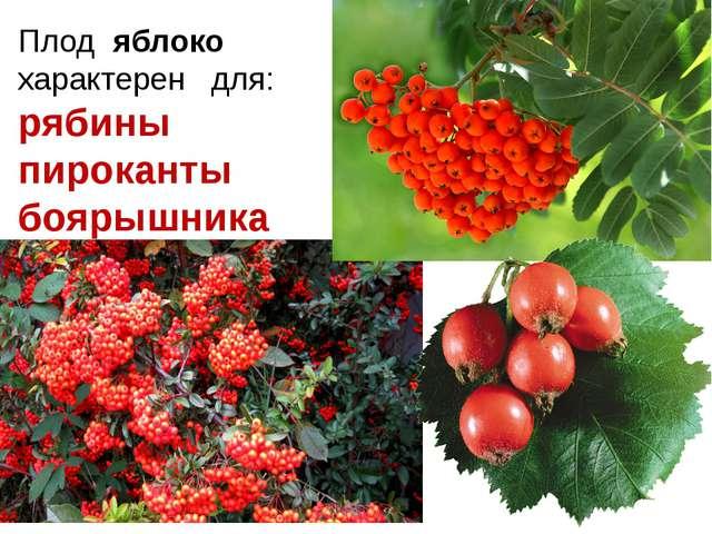 Плод яблоко характерен для: рябины пироканты боярышника