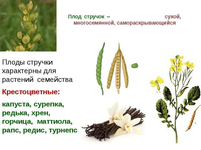 Плод стручок – сухой, многосемянной, самораскрывающийся Плоды стручки характе...