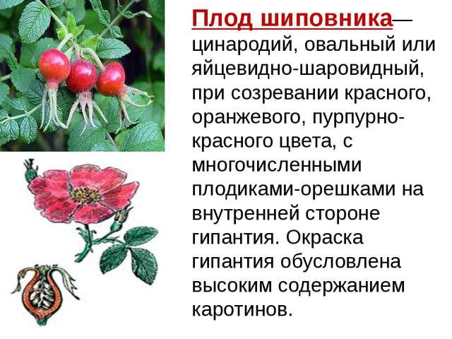 Плодшиповника— цинародий, овальный или яйцевидно-шаровидный, при созревании...