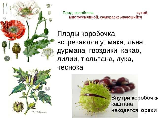 Плод коробочка – сухой, многосемянной, самораскрывающийся Плоды коробочка вст...