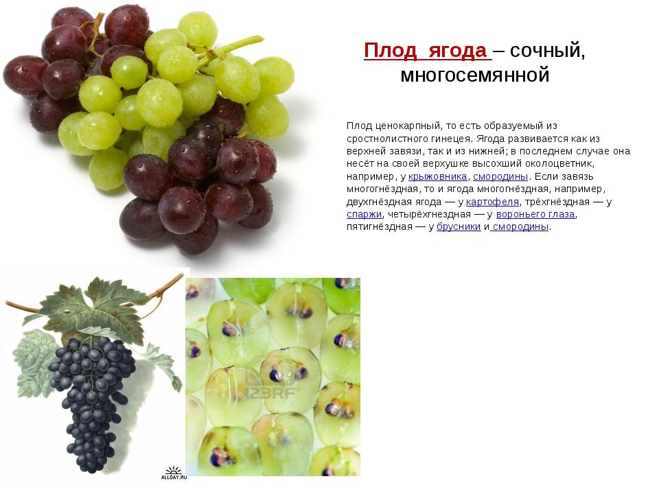 Плод ягода – сочный, многосемянной Плод ценокарпный, то есть образуемый из ср...