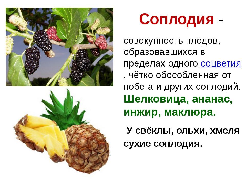 Соплодия - совокупность плодов, образовавшихся в пределах одного соцветия, чё...