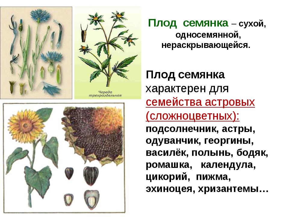 Плод семянка – сухой, односемянной, нераскрывающейся. Плод семянка характерен...