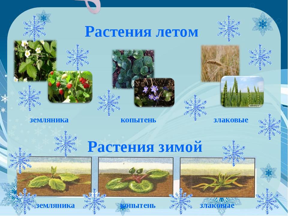 Растения летом земляника копытень злаковые Растения зимой земляника копытень...