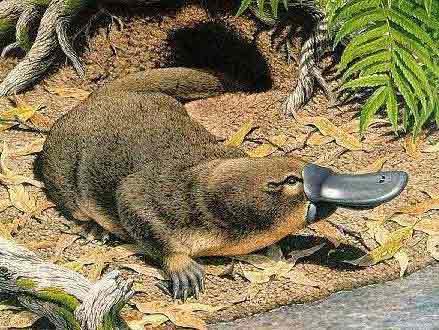 http://www.origins.org.ua/pictures/platypus_1.jpg